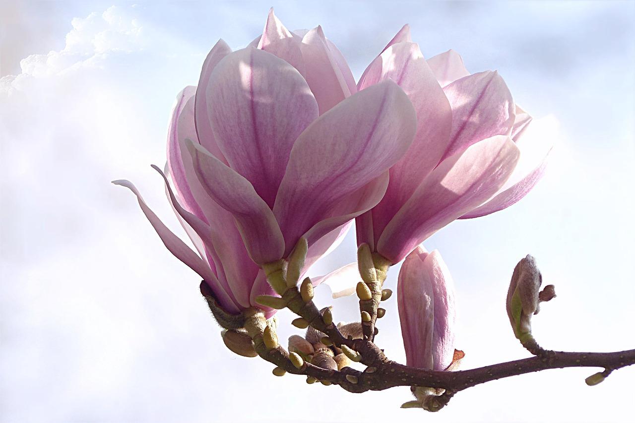 магнолия цветок фото