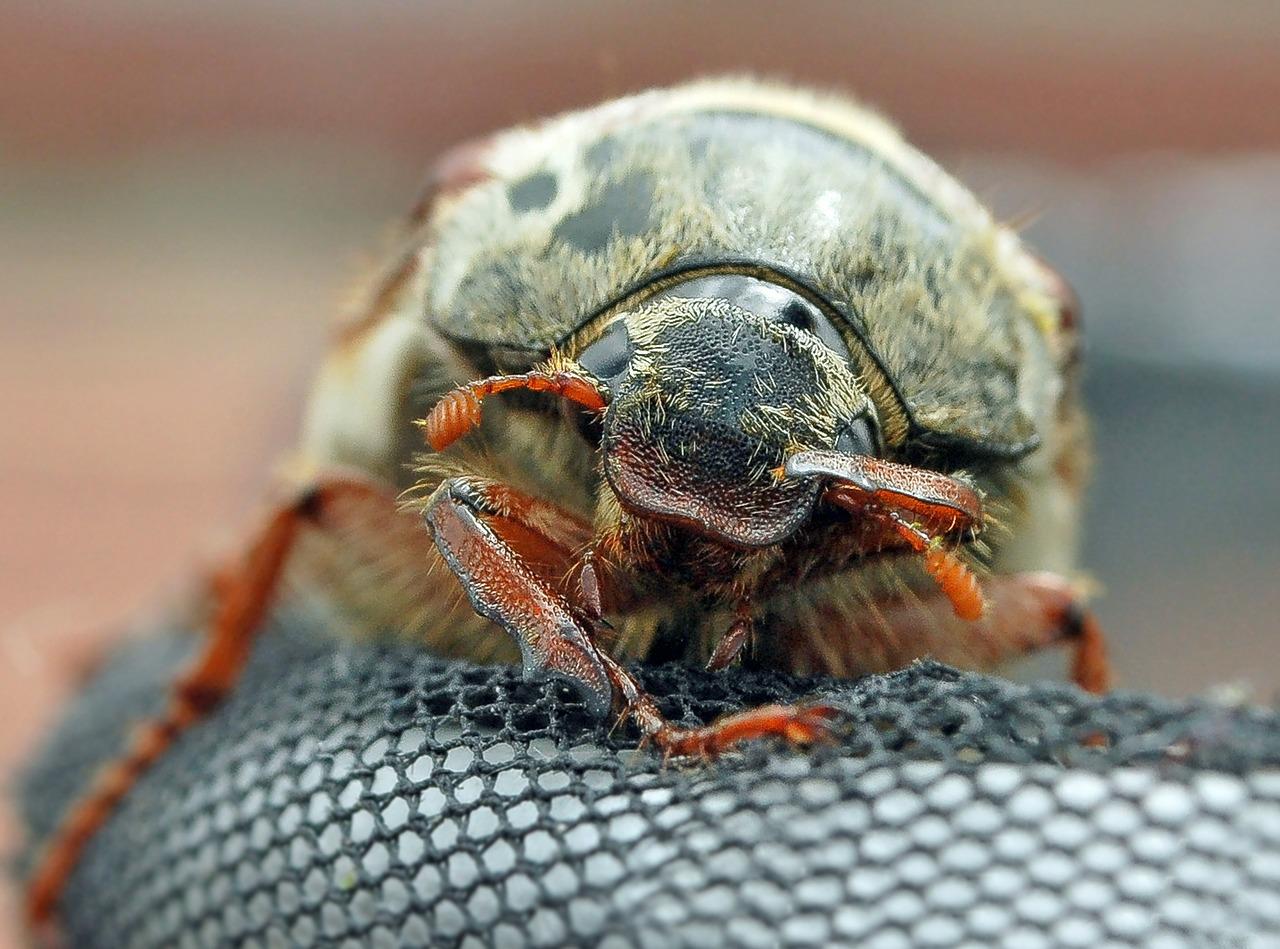 майский жук фото 1