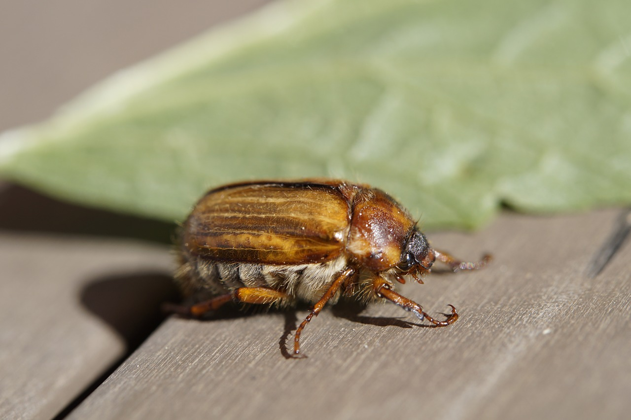 майский жук фото 3
