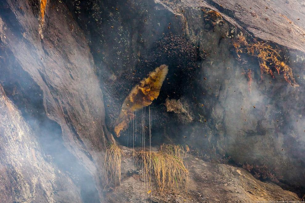 мед диких пчел, дикие пчелы в горах фото 3