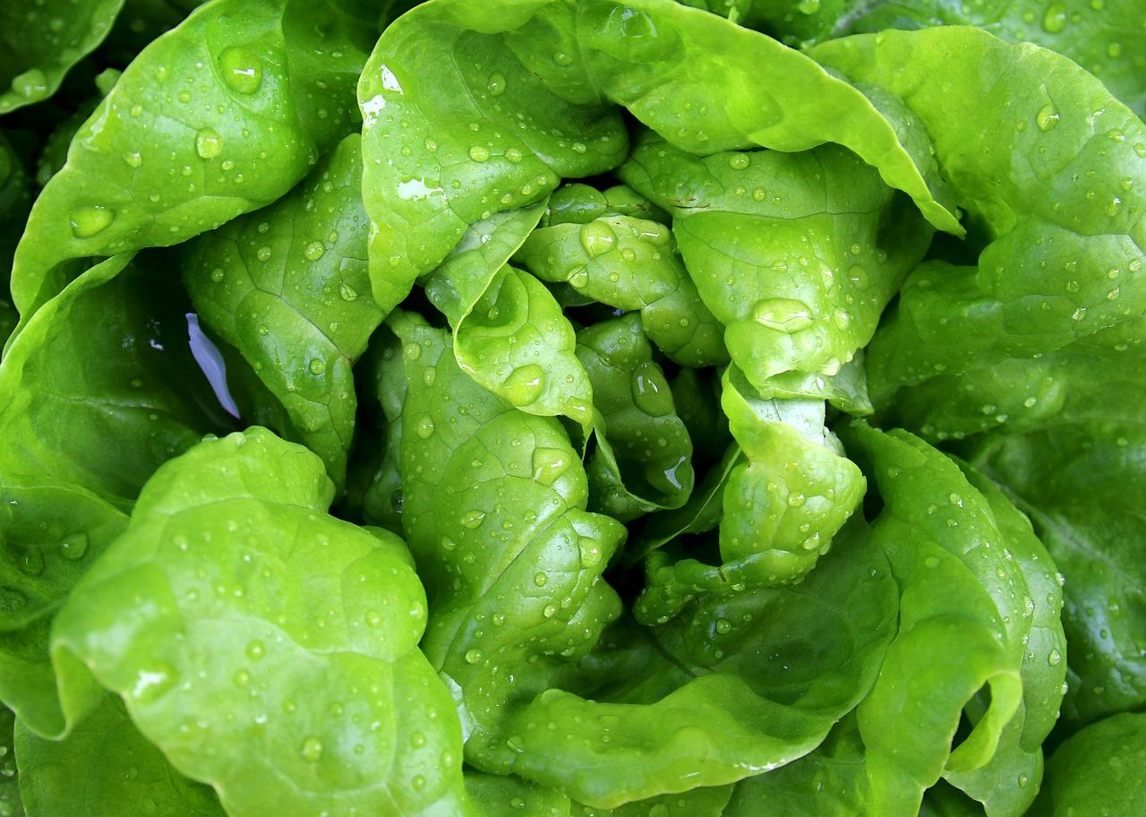 ранние и поздние сорта кочанного салата
