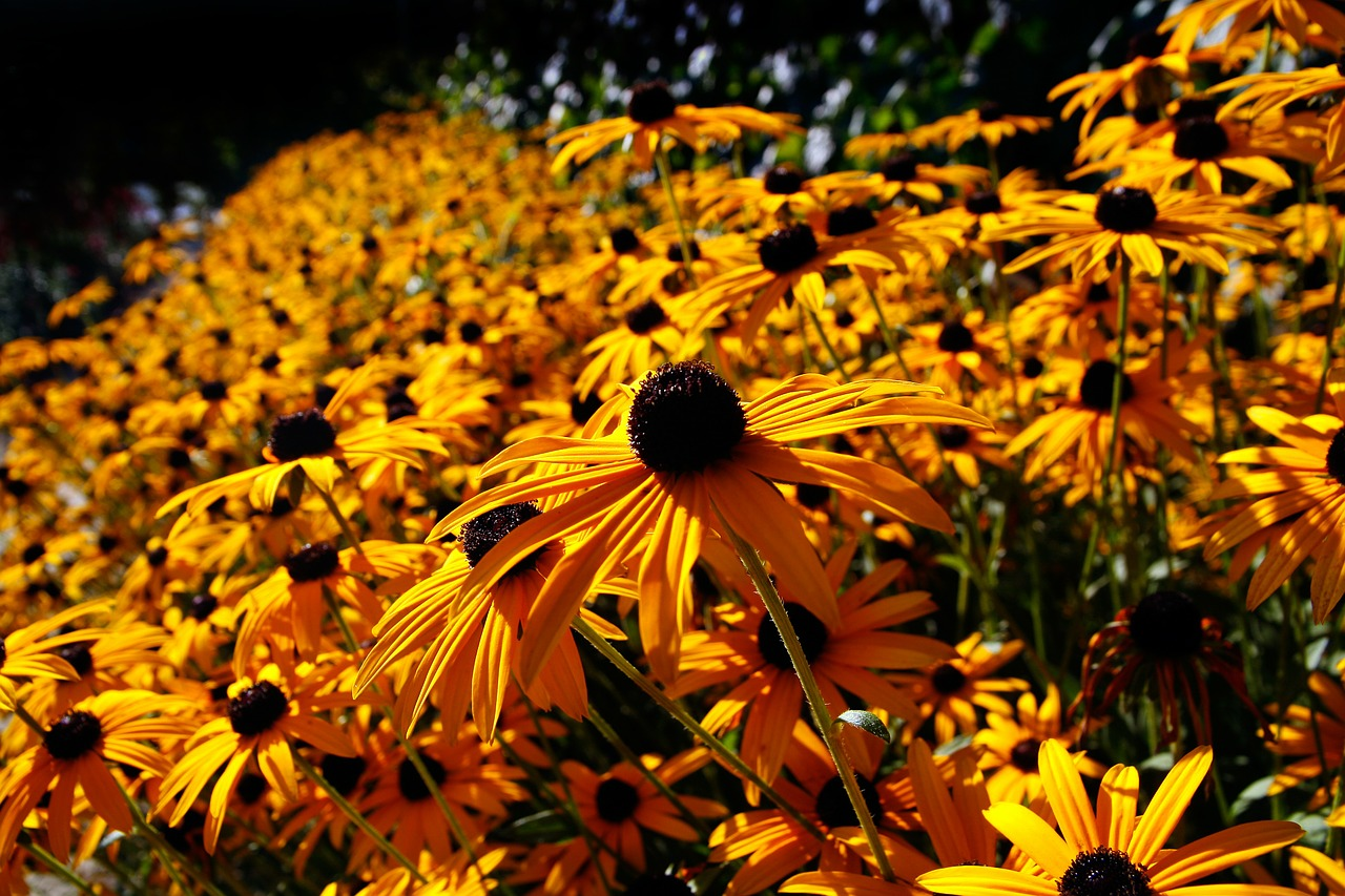 рудбекия фото цветов 1