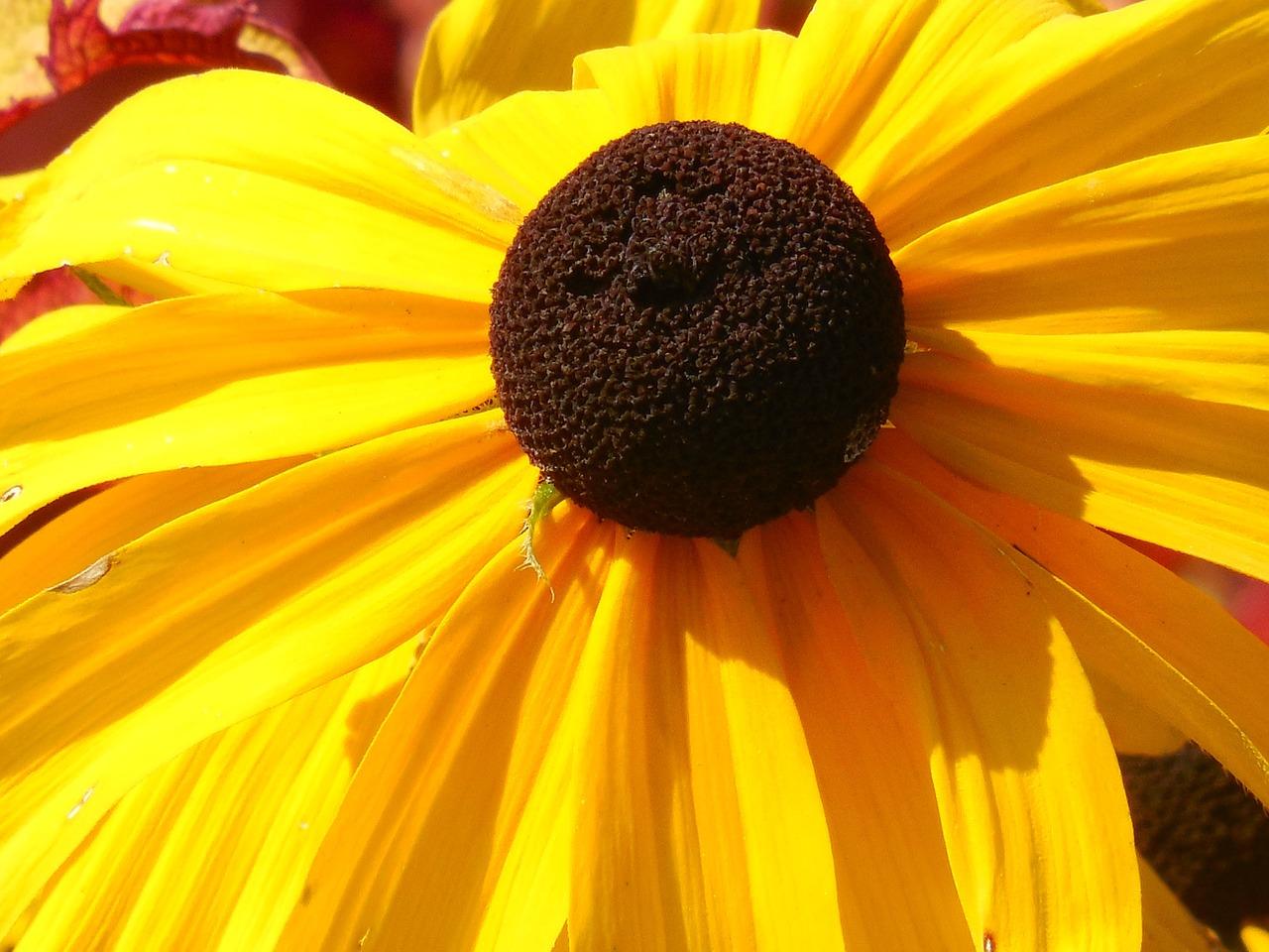 рудбекия фото цветов 2
