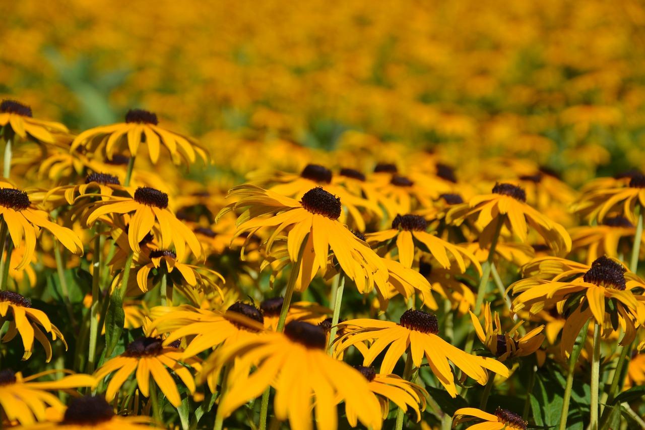 рудбекия фото цветов
