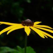 Рудбекия — 23 фото цветов