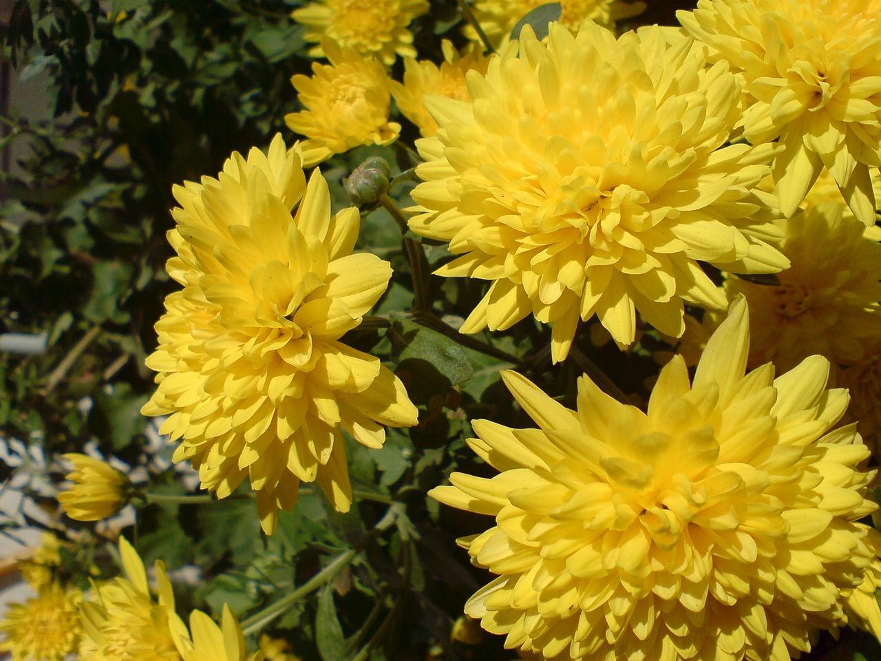 хризантемы фото 13