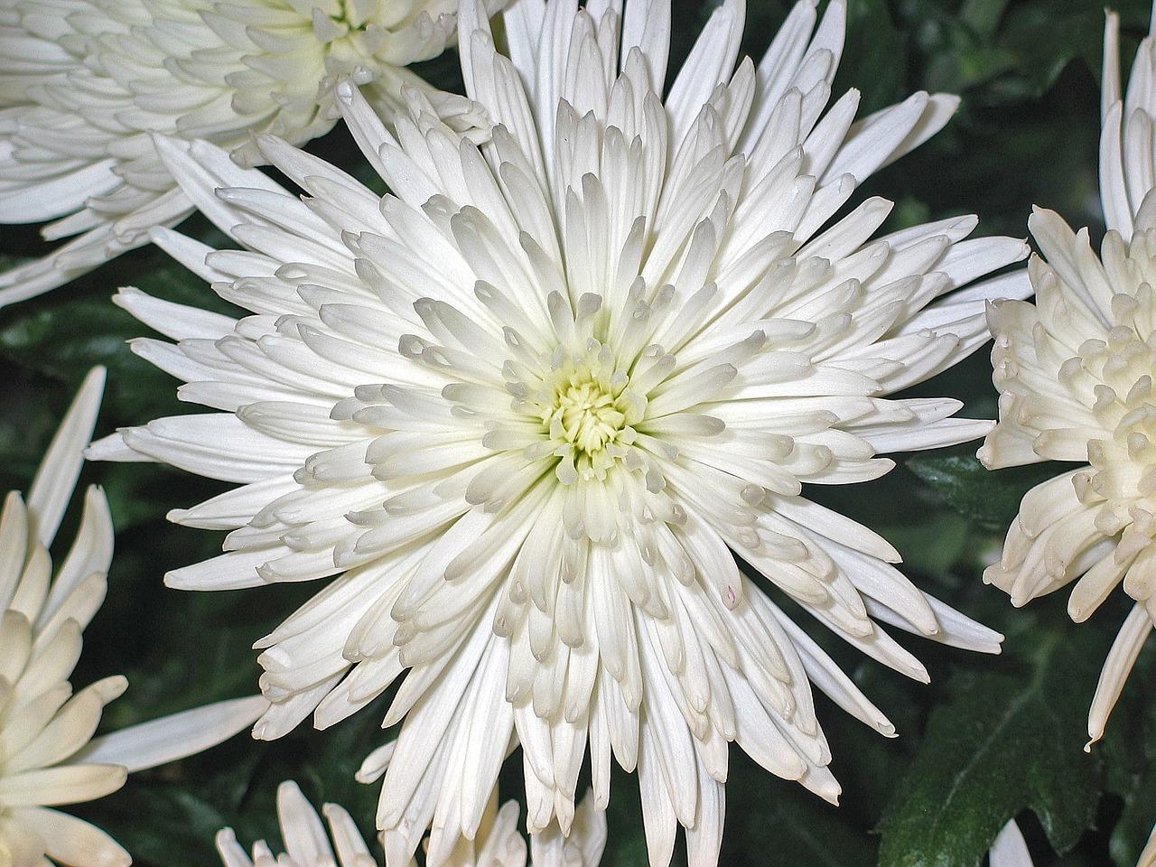 хризантемы фото 14