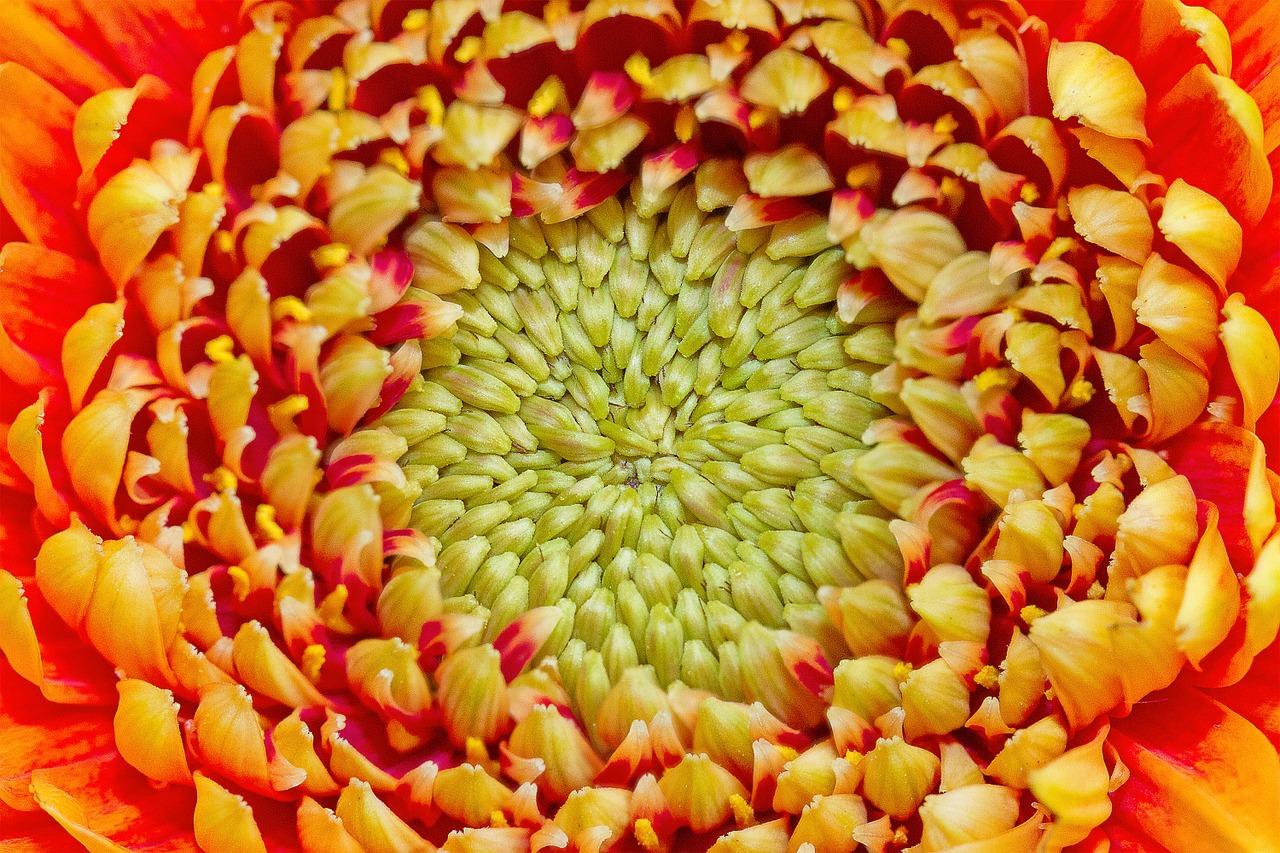 хризантемы фото 16