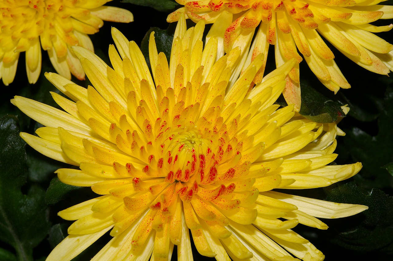 хризантемы фото 20