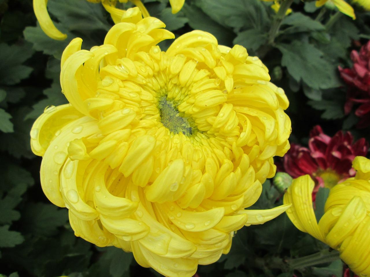 хризантемы фото 21