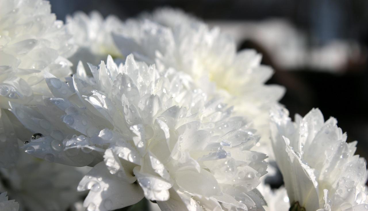 хризантемы фото 23