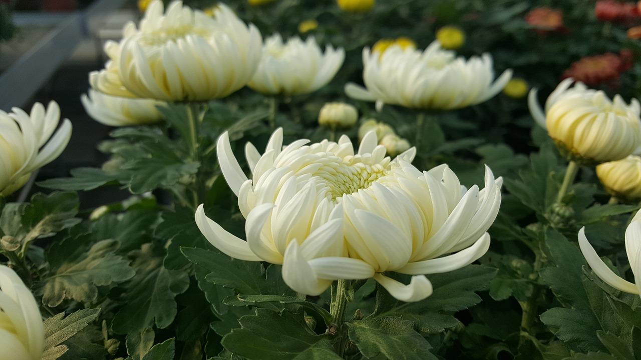 хризантемы фото 24