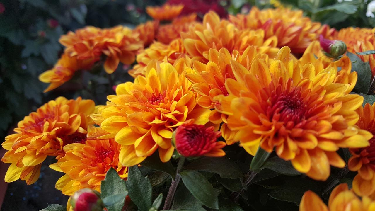 хризантемы фото 25