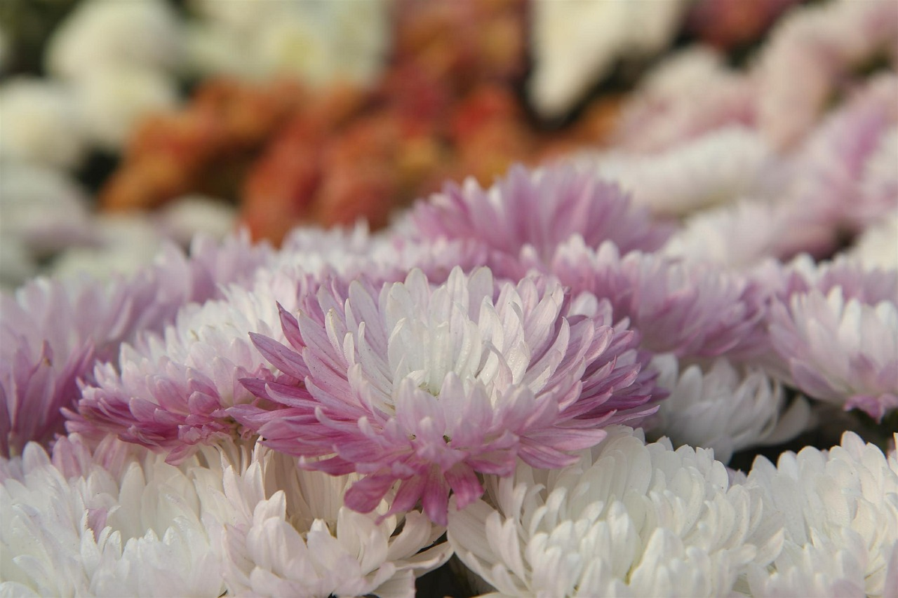 хризантемы фото 27