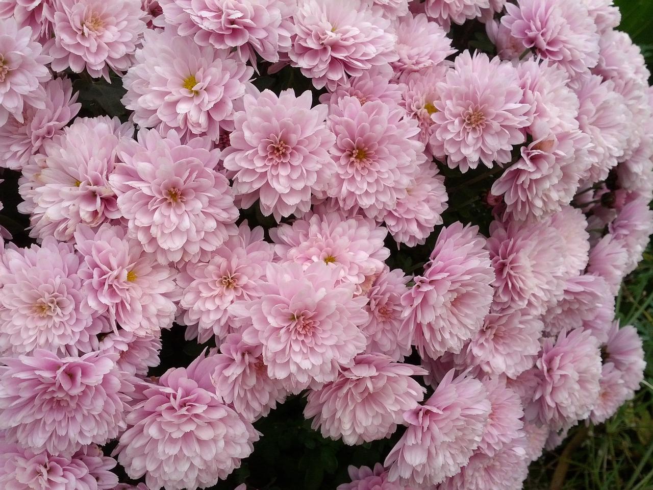 хризантемы фото 29