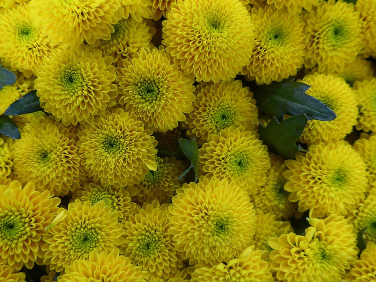 хризантемы фото 32