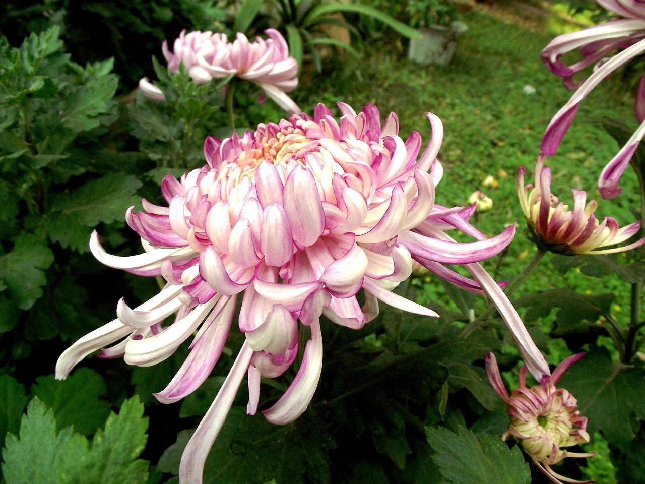 хризантемы фото 33