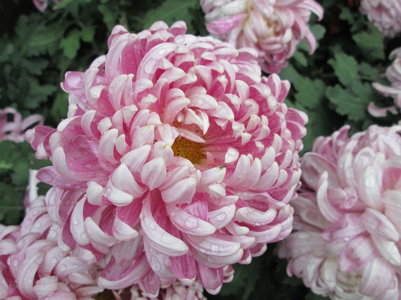 хризантемы фото 35
