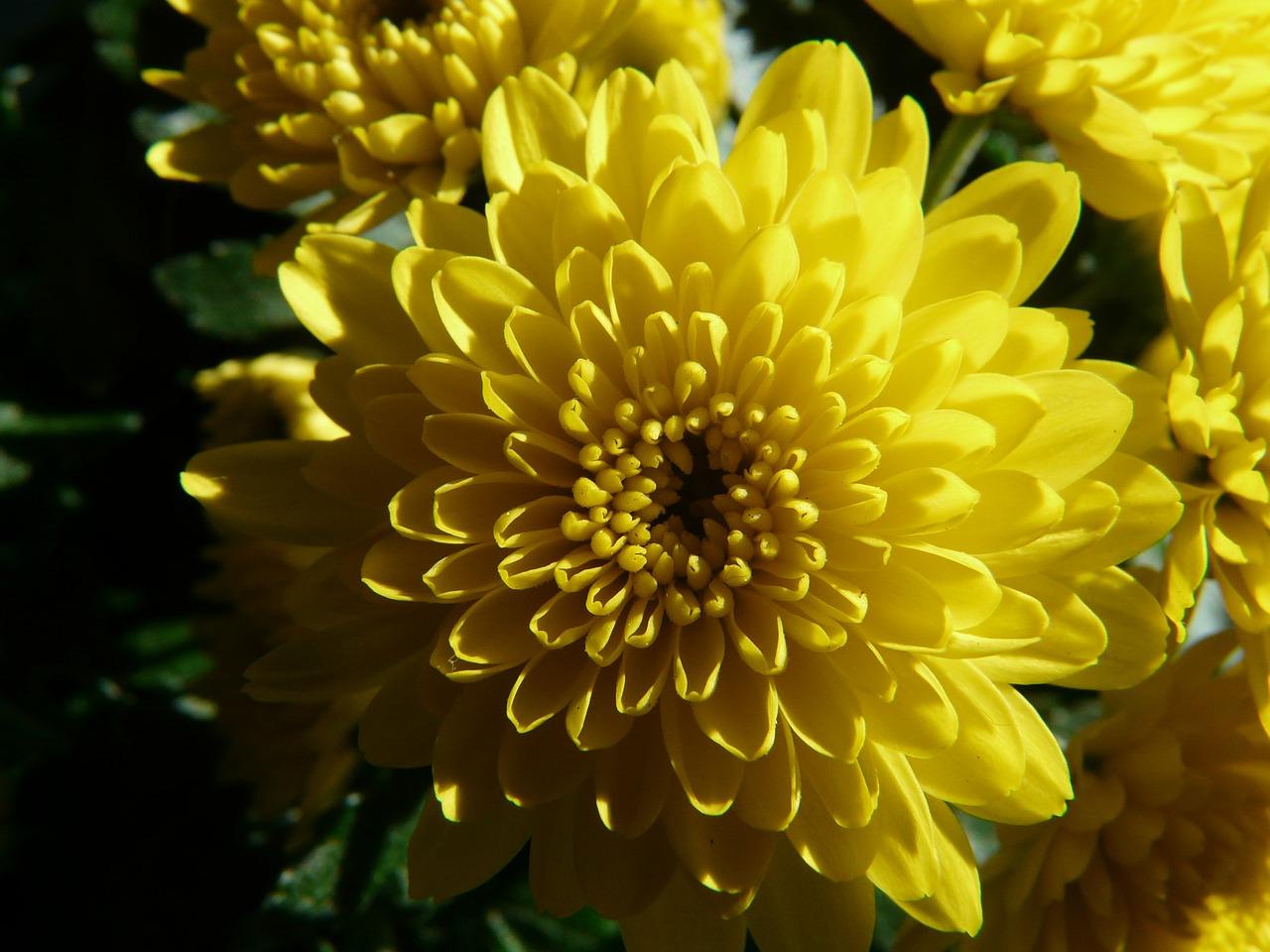 хризантемы фото 4