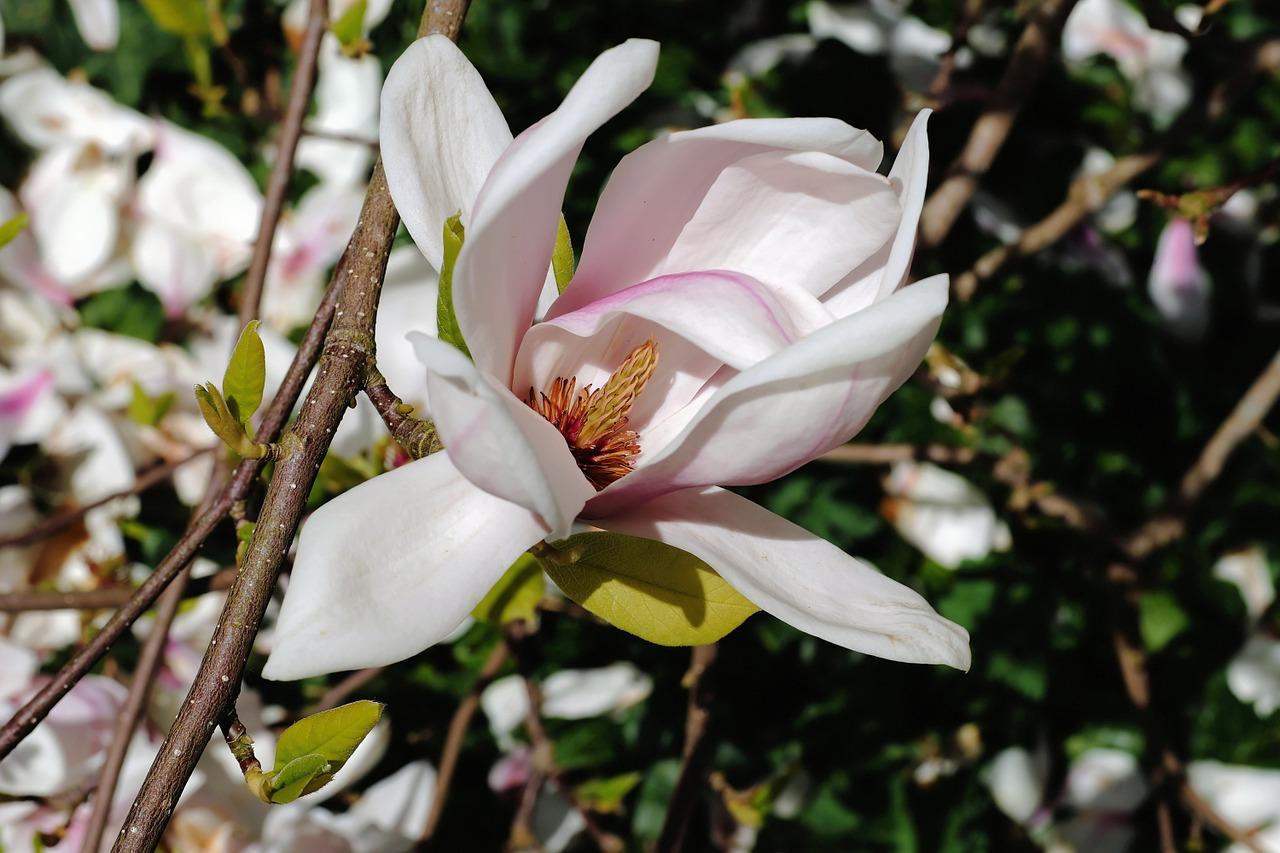 цветение магнолии фото 1