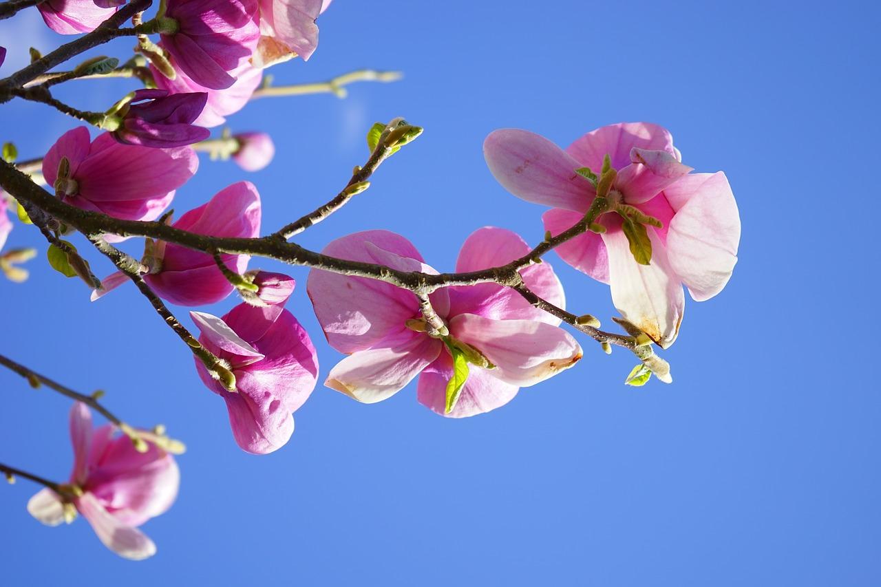 цветение магнолии фото 3