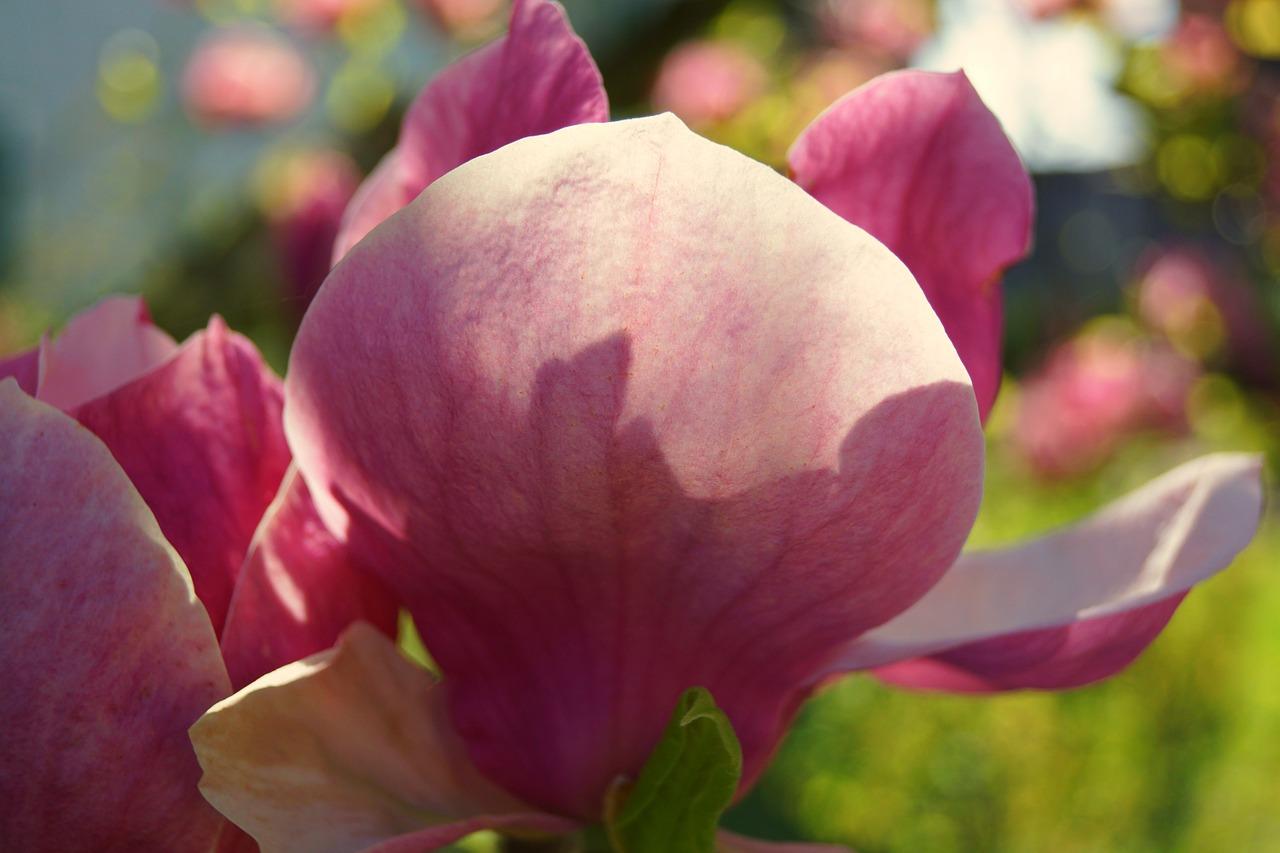 цветение магнолии фото 6
