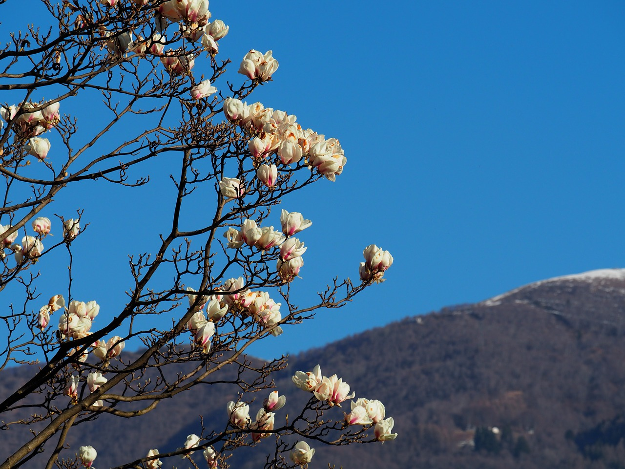 цветение магнолии фото 7