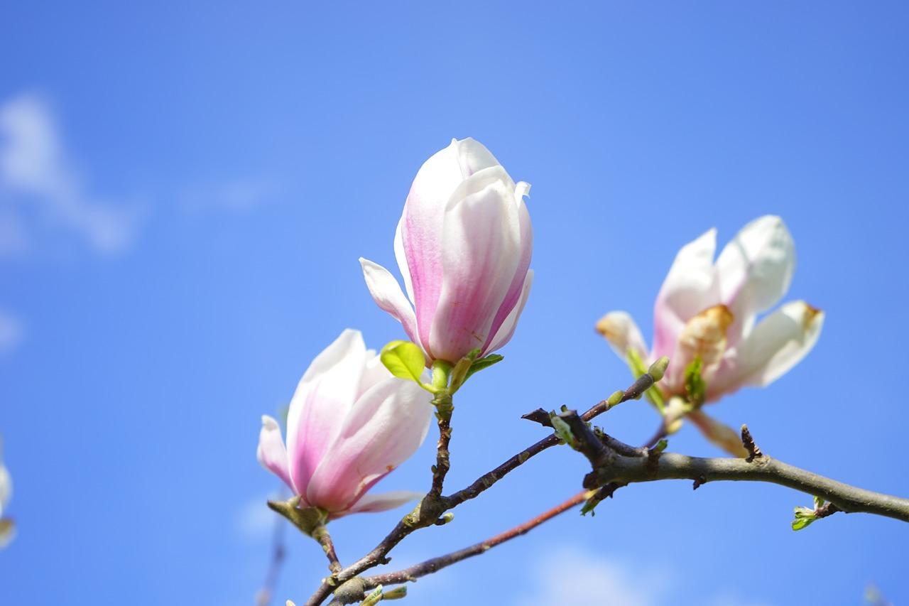 цветение магнолии фото