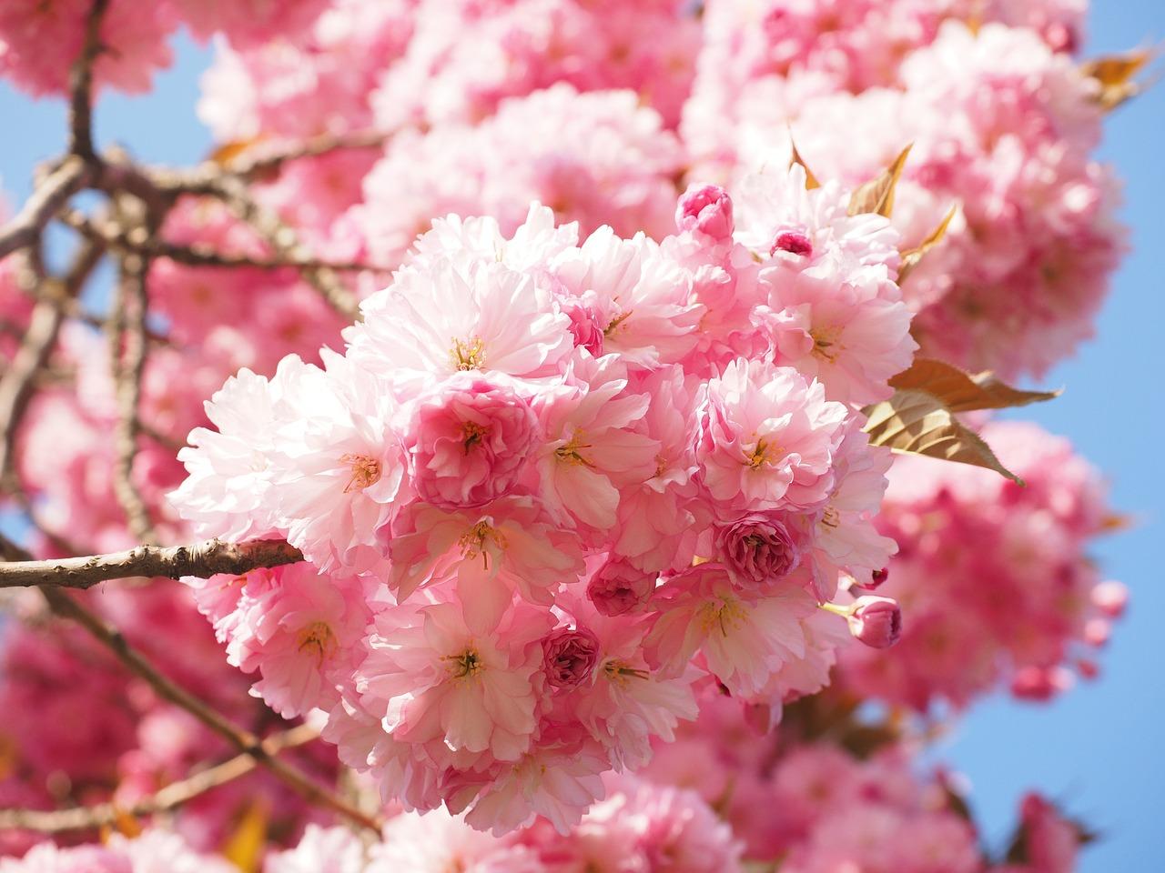 цветение сакуры фото 1