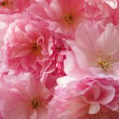 Цветущая сакура: 20 фото