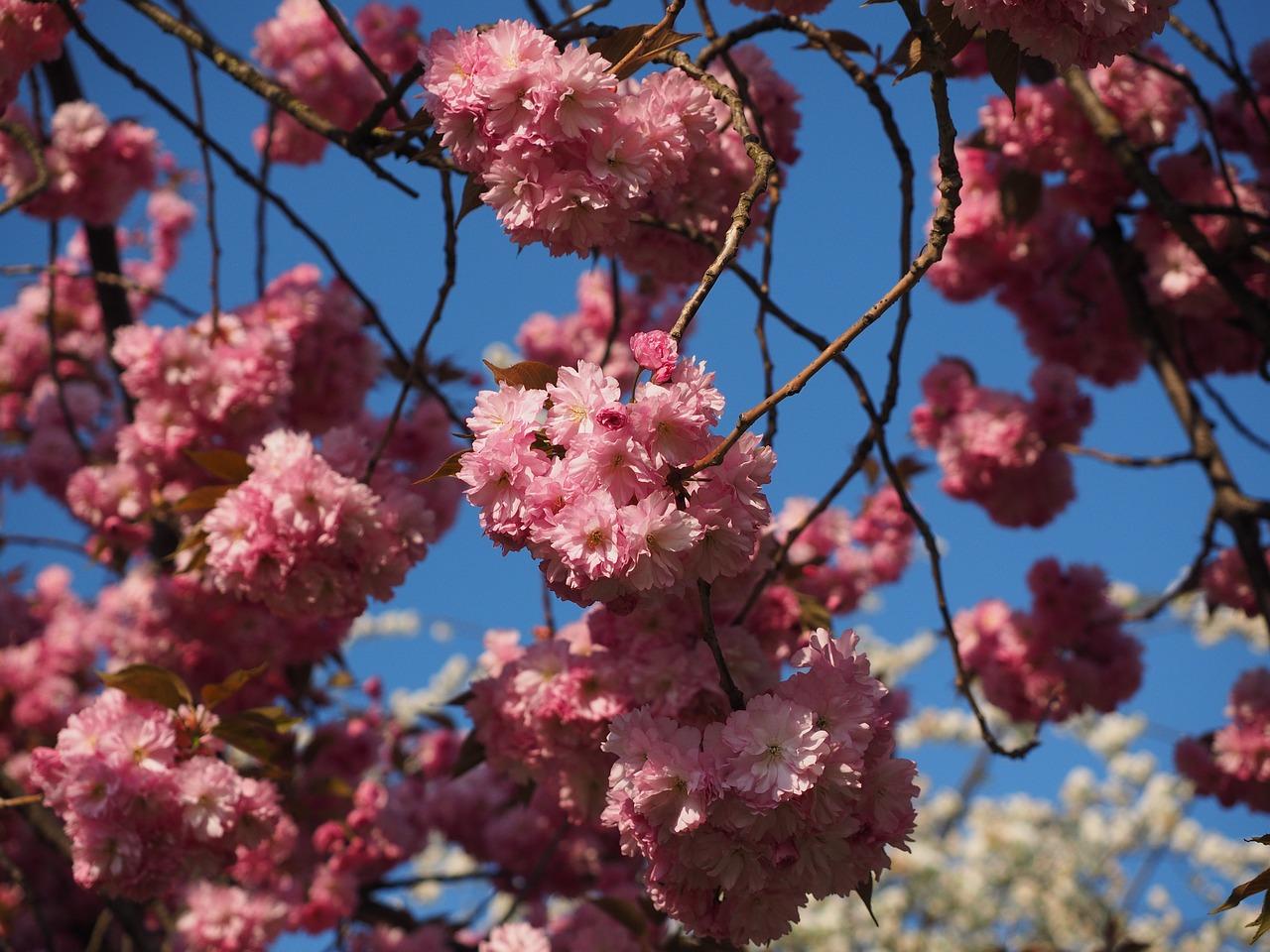 цветение сакуры фото 4