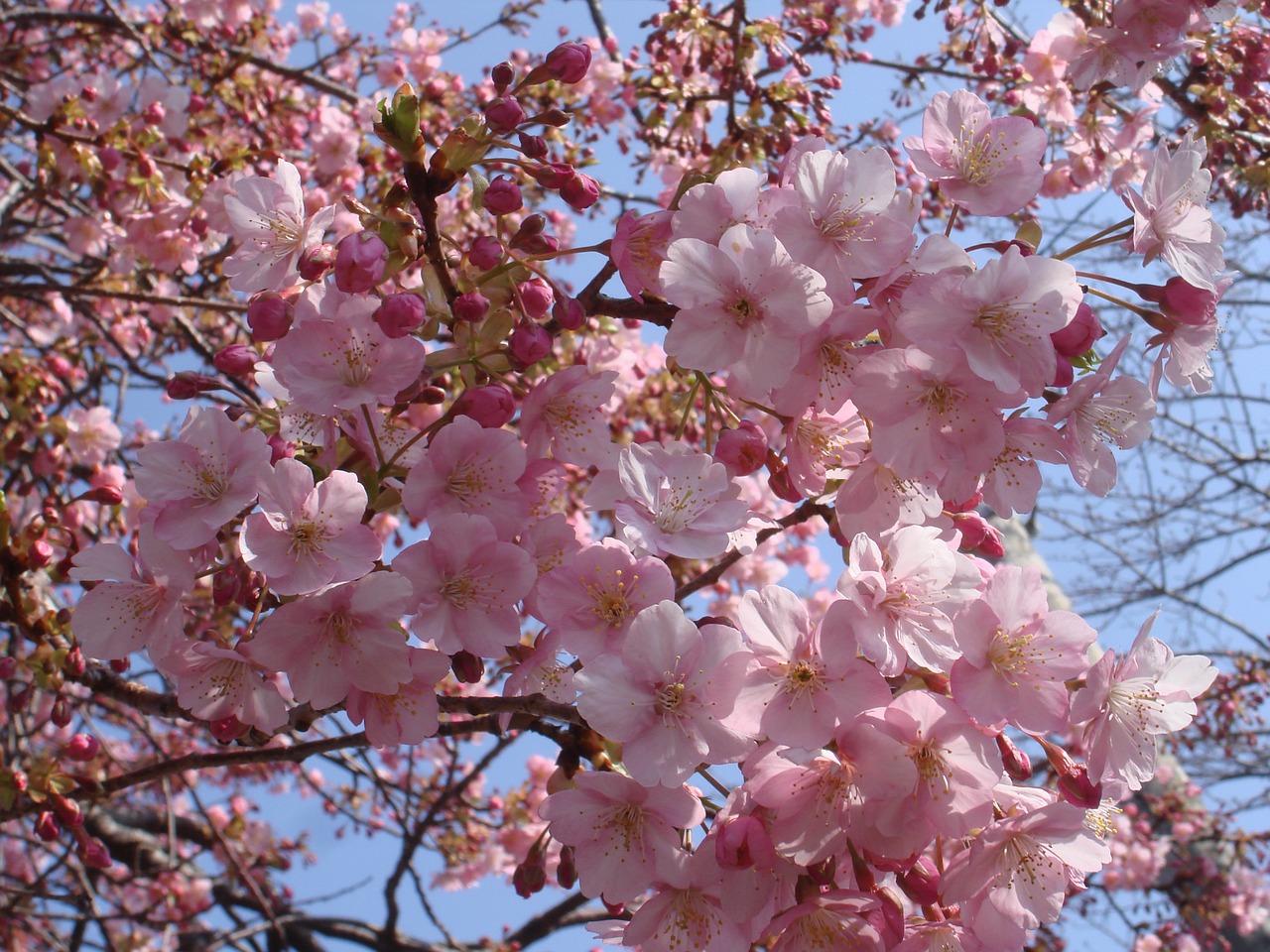 цветение сакуры фото 5