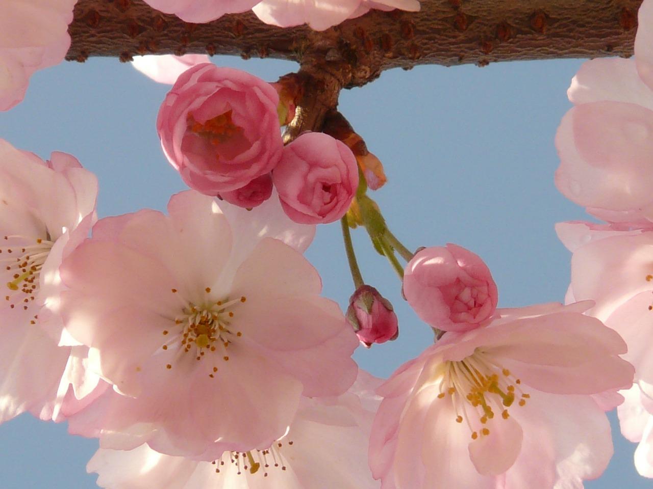 цветение сакуры фото 6
