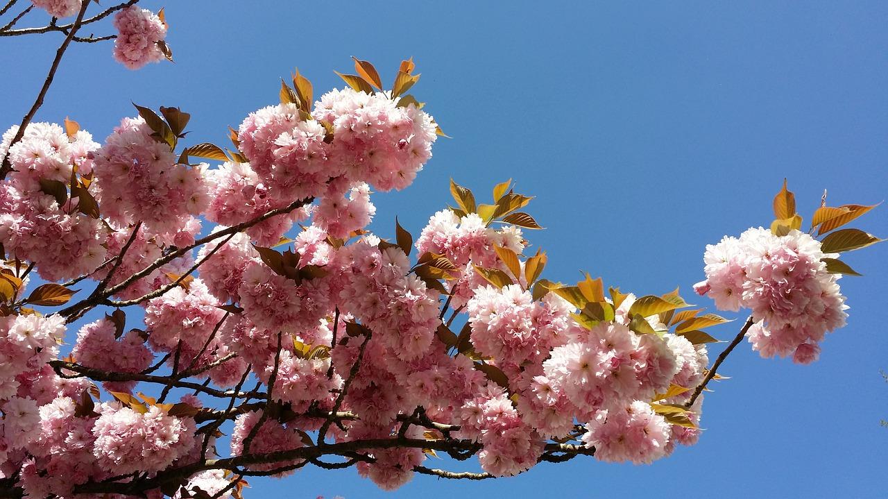 цветущая сакура фото 2