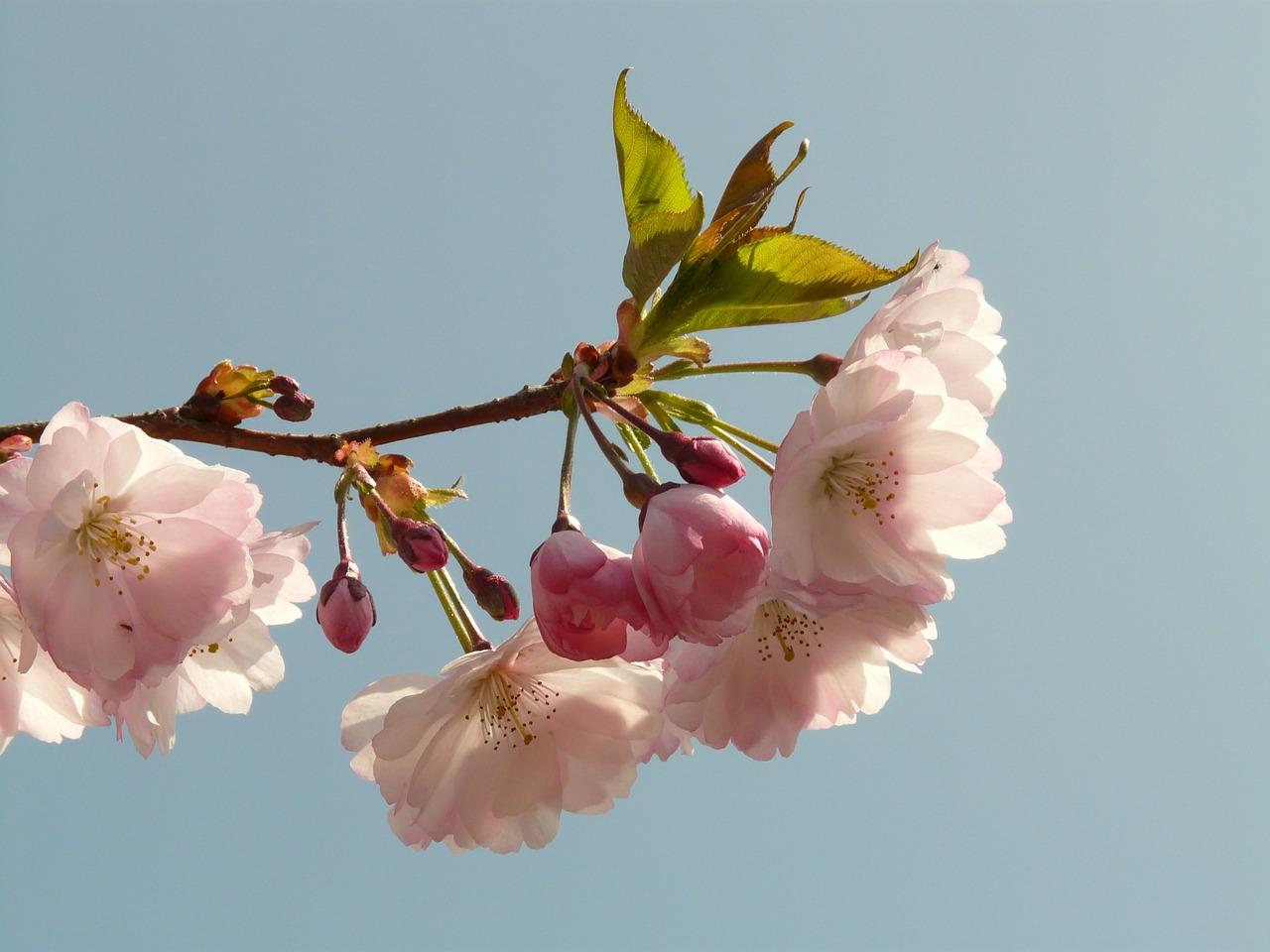 цветущая сакура фото 3