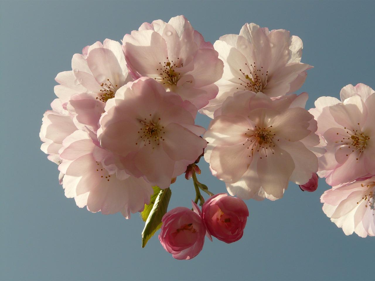цветущая сакура фото 4