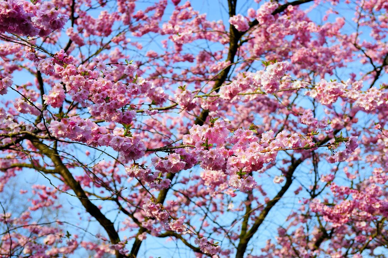 цветущая сакура фото 5