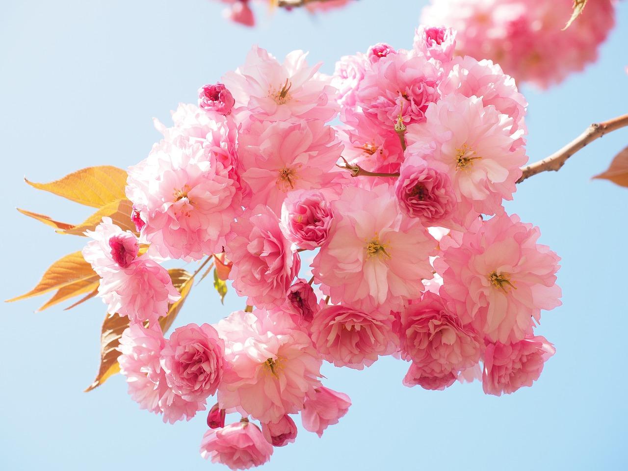 цветущая сакура фото 6