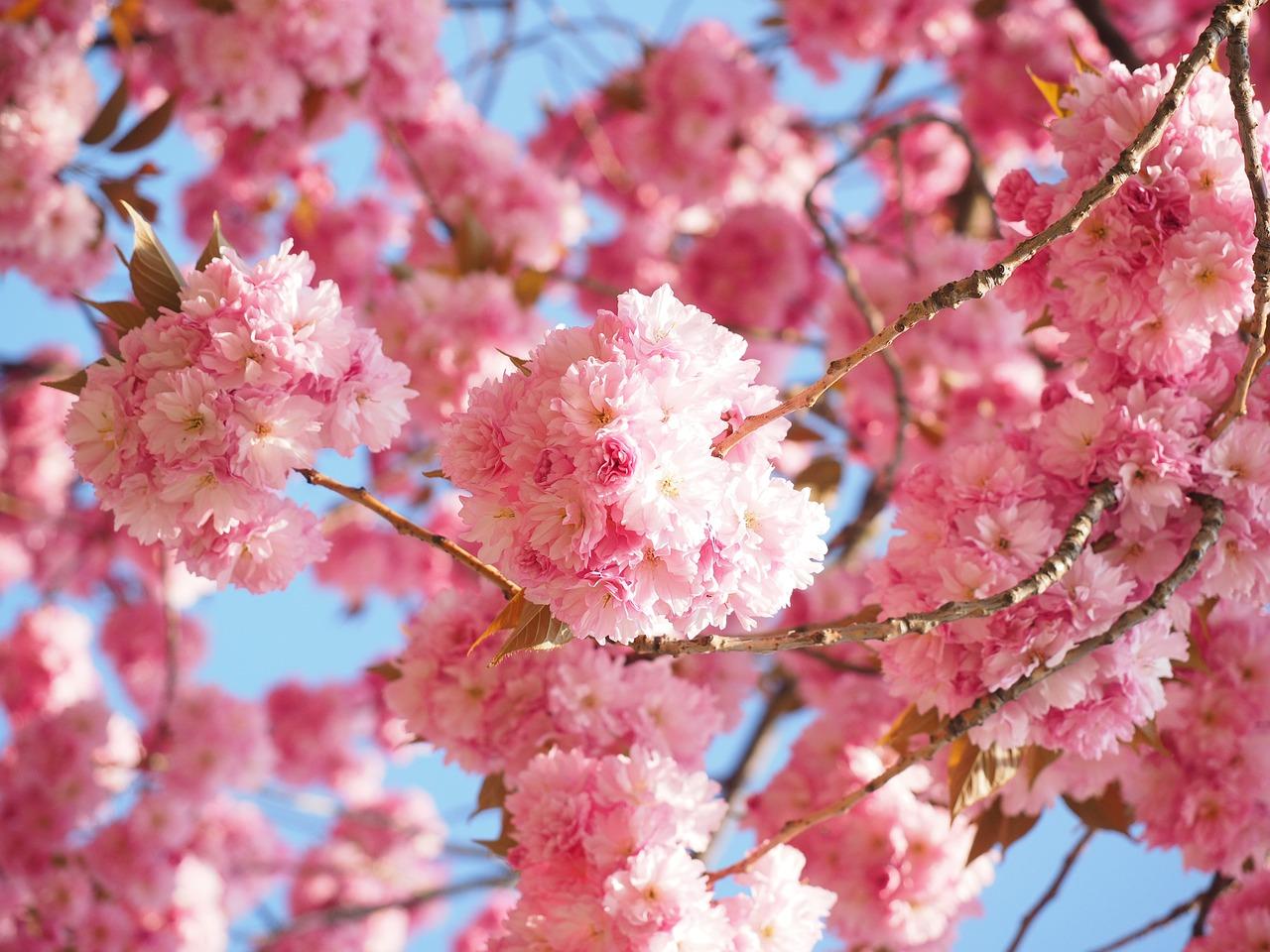 цветущая сакура фото 7