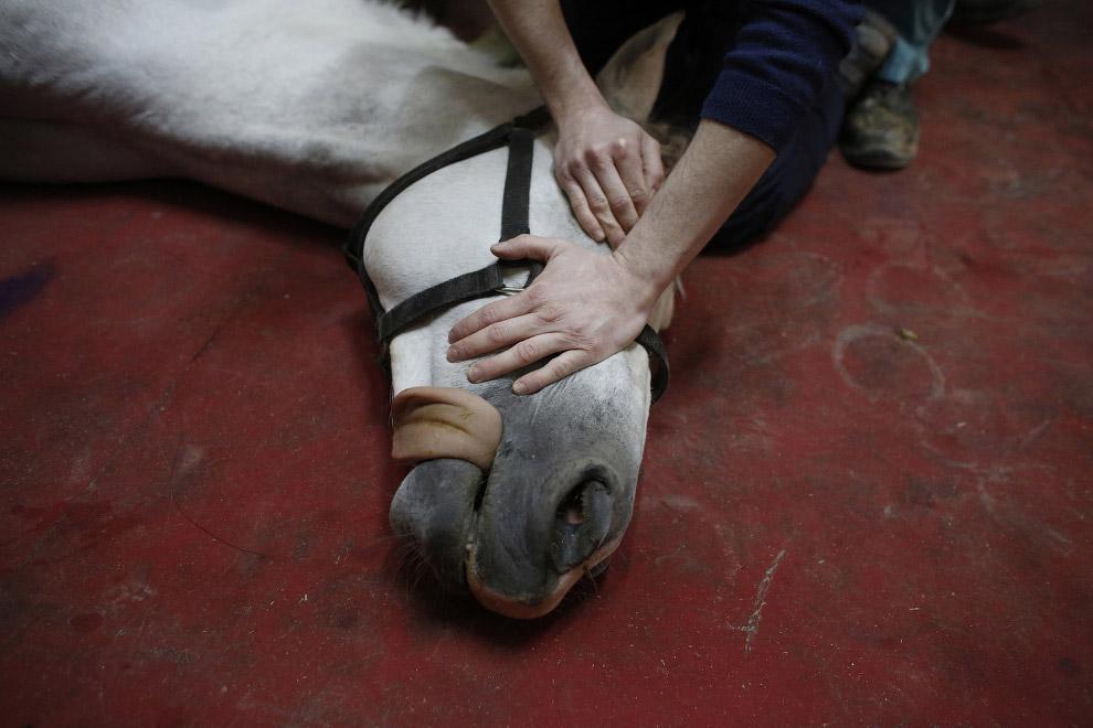 методы лечения лошадей операция лошадей анастезия