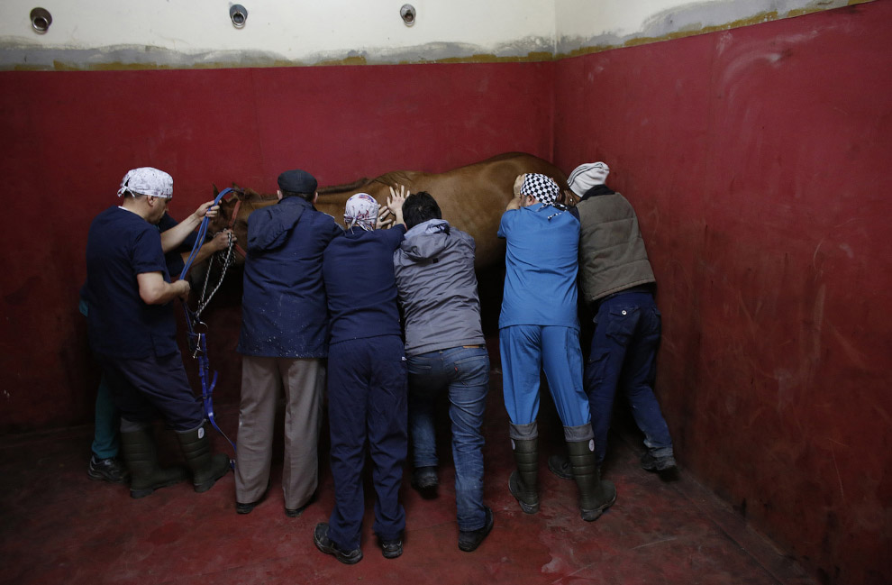 методы лечения лошадей операция лошадей подготовка 1