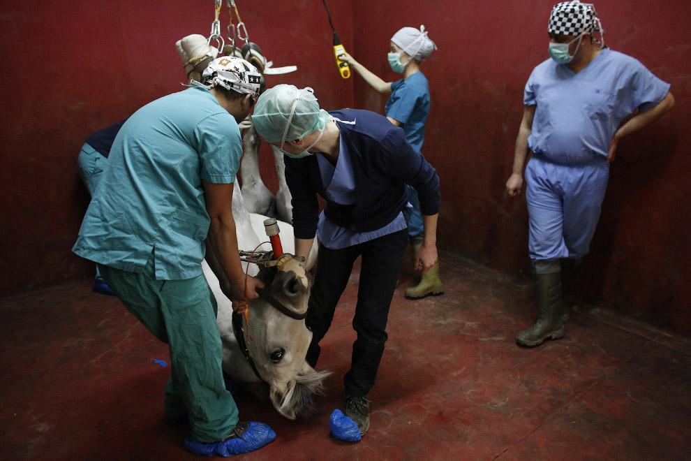 методы лечения лошадей операция лошади