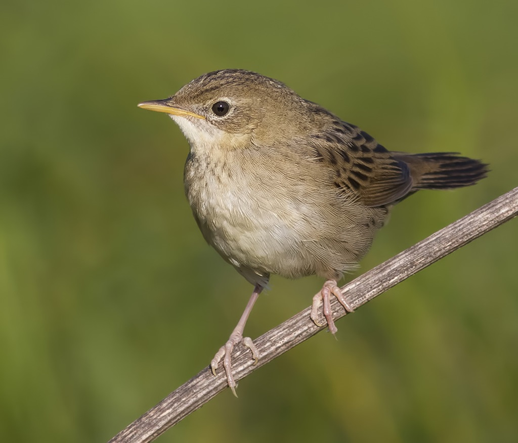 sverchok-ptica-foto