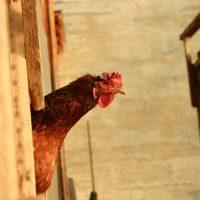 Разведение птицы как бизнес в деревне: с помощью соцсетей