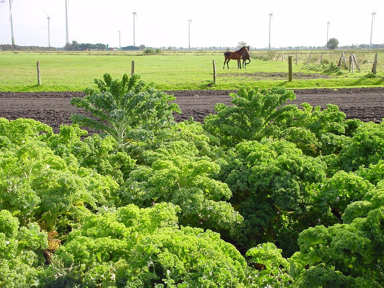 Капуста кейл (Kale) фото 3