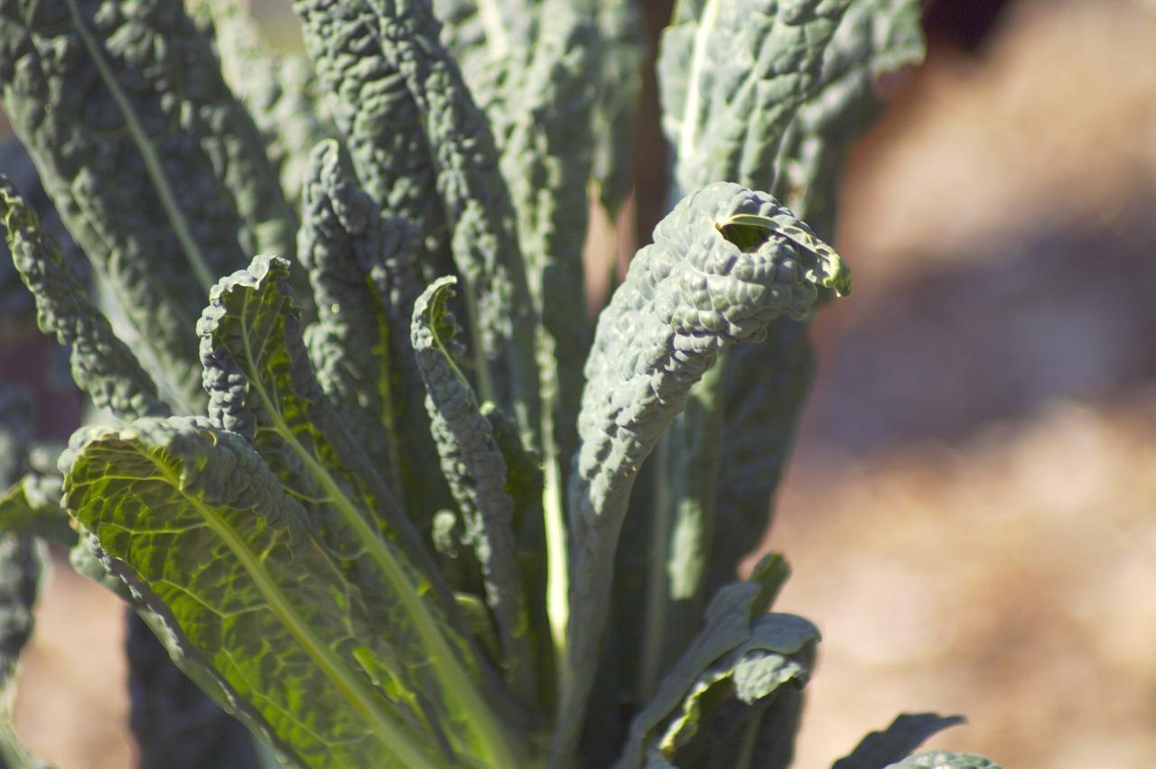 Капуста кейл (Kale) фото 4