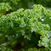 Капуста кейл (Kale) — 15 фото