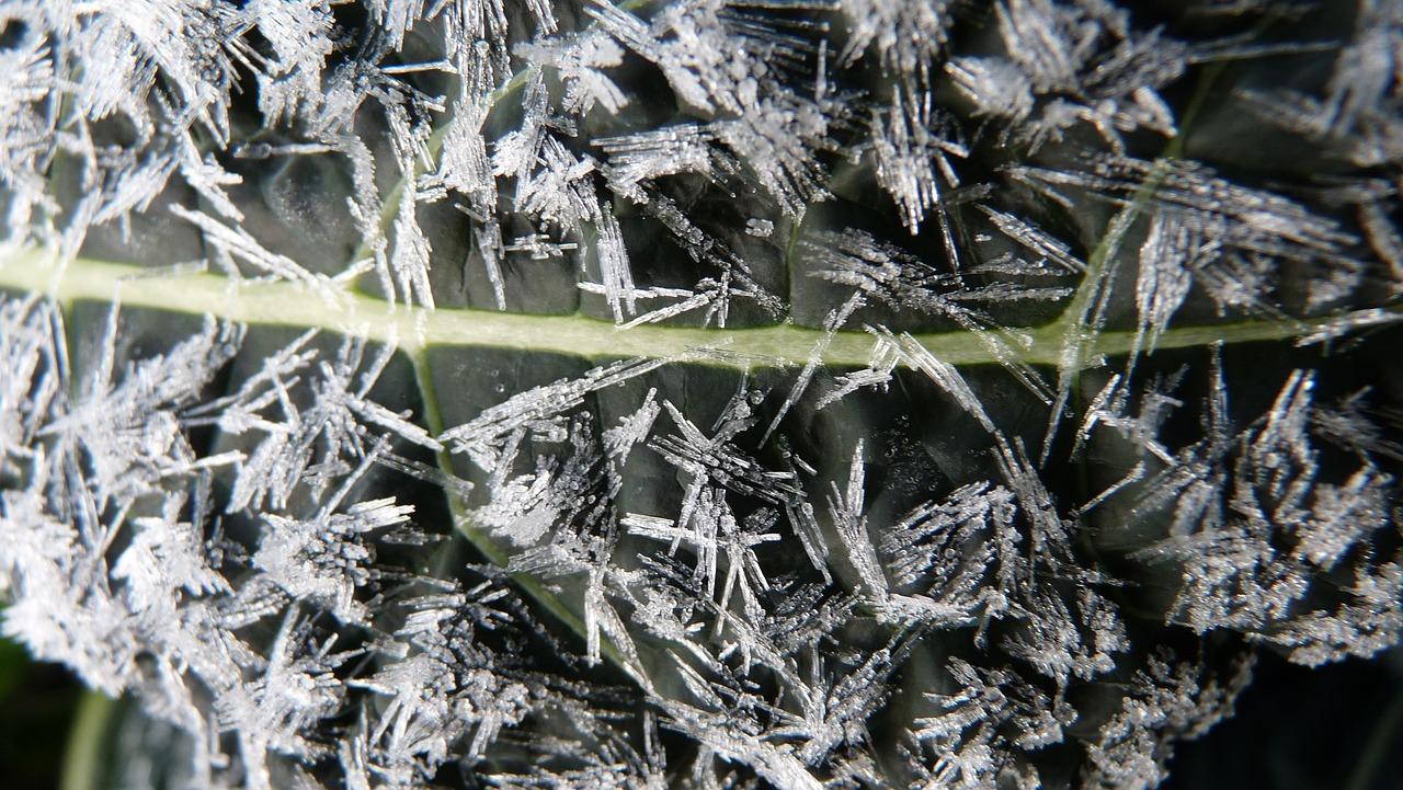 Капуста кейл (Kale) фото 8