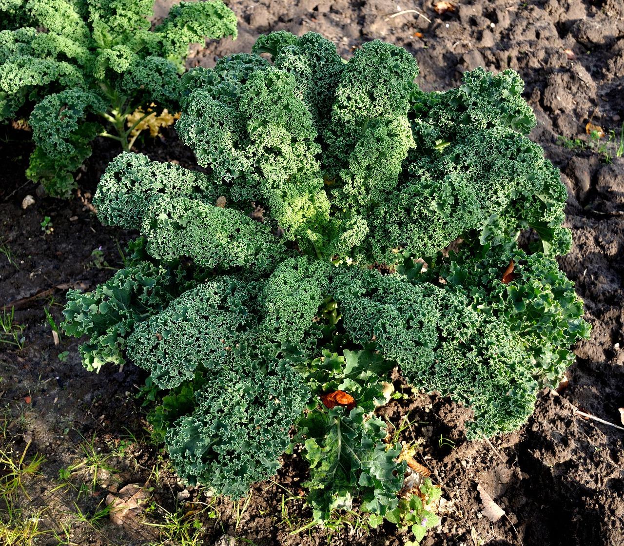 Капуста кейл (Kale) фото 05
