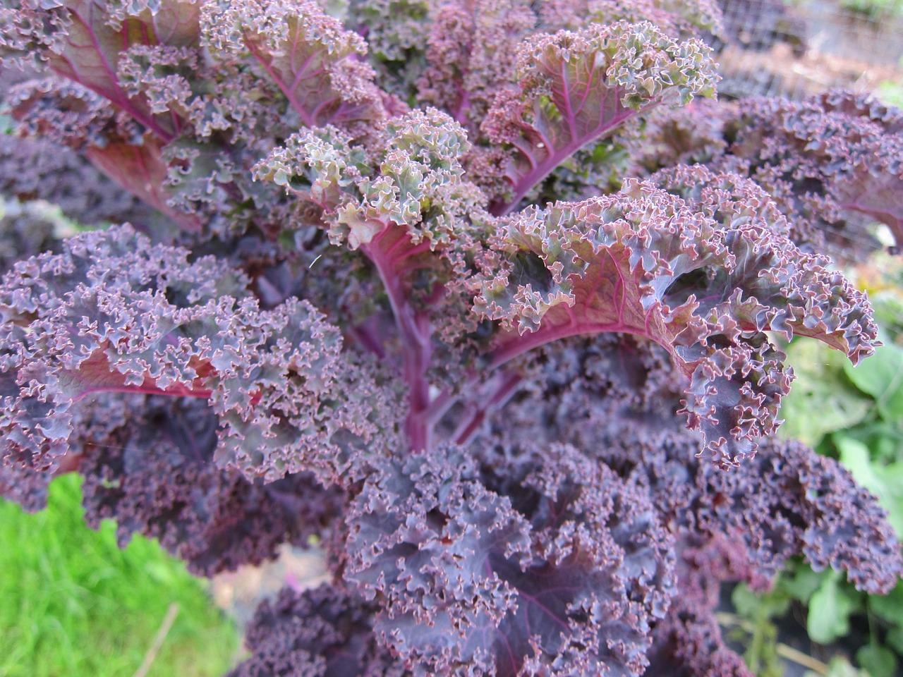 Капуста кейл (Kale) фото 1
